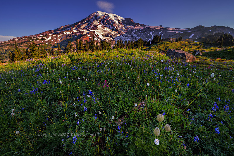 Early morning view of Mt. Rainier and wildflower meadow