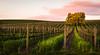 Lone Acacia Tree at Acacia Winery