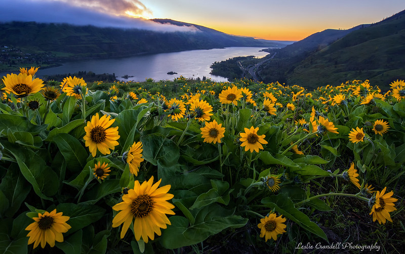Balsam Root and View of the Columbia River