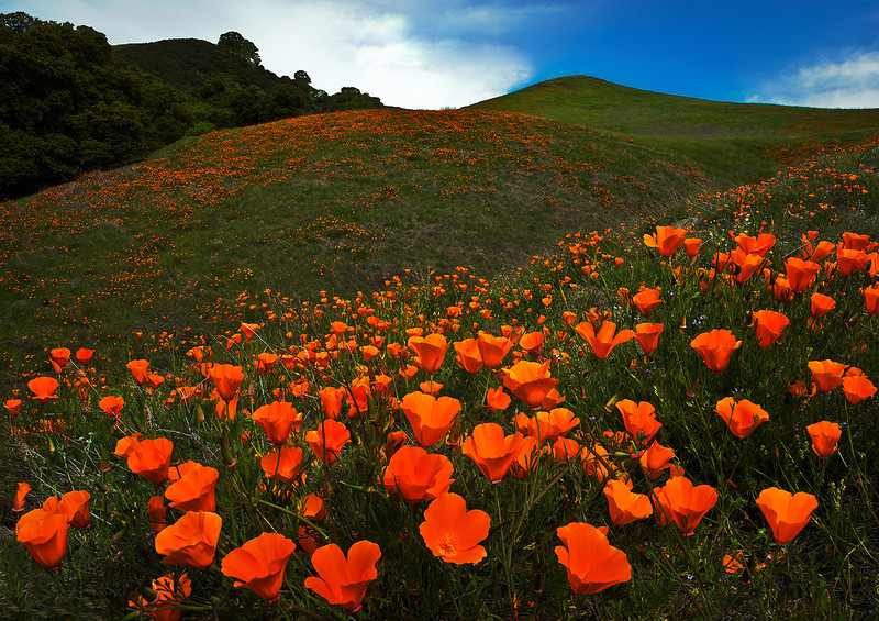 Poppies on Mt. Diablo