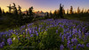 Field of Lupine Mt. Rainier