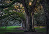 Giant Oaks in Low Country, South Carolina