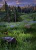 Lupine in Bloom, Mt. Rainier