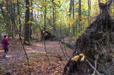 Three trees blown down along east rim trail  in Letchworth gorge