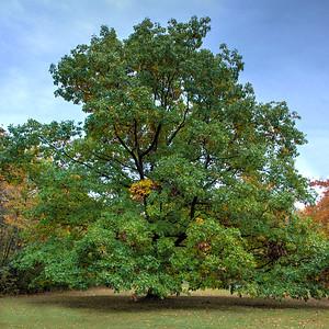 Lone oak tree near Mt Moris Dam