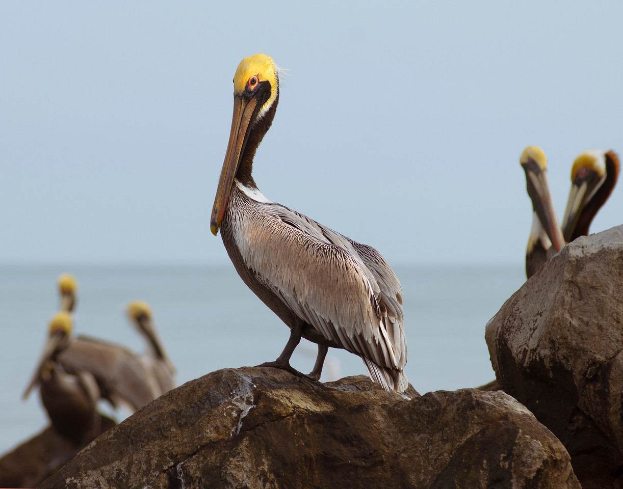 Pelicans wait on the rock by the government cut by St George Island