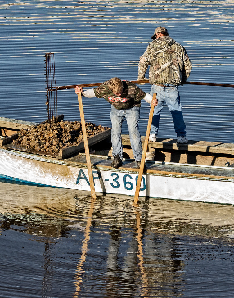 Long tongs work the bottom, Oystermen near Eastpoint FL, Apalachicola Bay