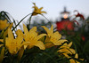 Seven Foot Knoll Lighthouse Behind Day Lillies
