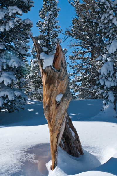 Lake Tahoe Tree Fox