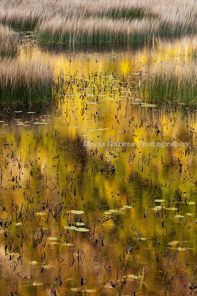 Reeds' and Autumn Leaves' Reflection, Maine