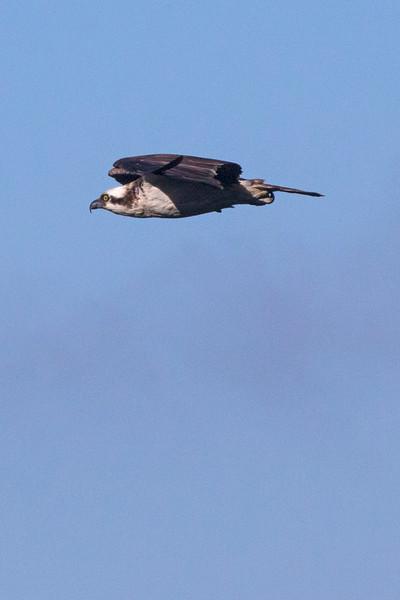 Osprey3978