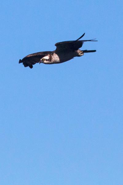 Osprey3977