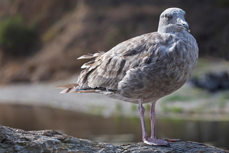 Gull4050