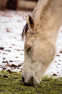 Gray horse's companion White horse in light snow
