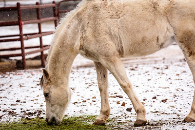 White horse in light snow through a Tamron 150-600 G2