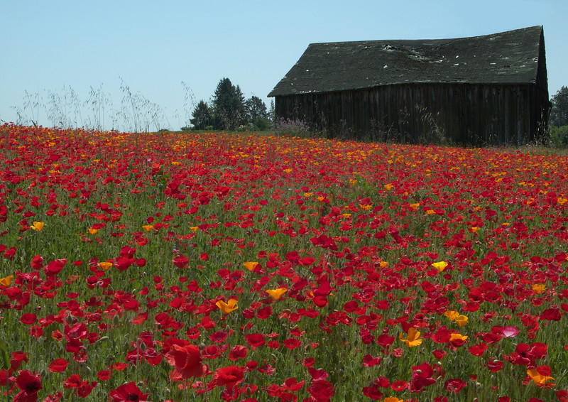 Poppies in the Spring