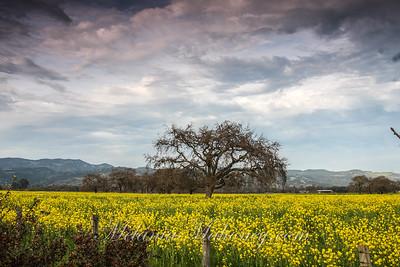 Sonoma Mustard Fields