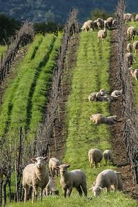 Sheep Mowers, Napa