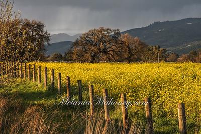 Mustard mm-0815
