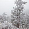 Frosted Ponderosa, decorated by many days of thick fog.