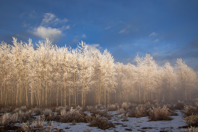 Frosted aspens on Taylor Mountain, Utah