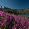 Rosebay willow at Kalle, Lofoten