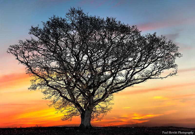 Old Oak Tree on Leckfords Old Golf Course