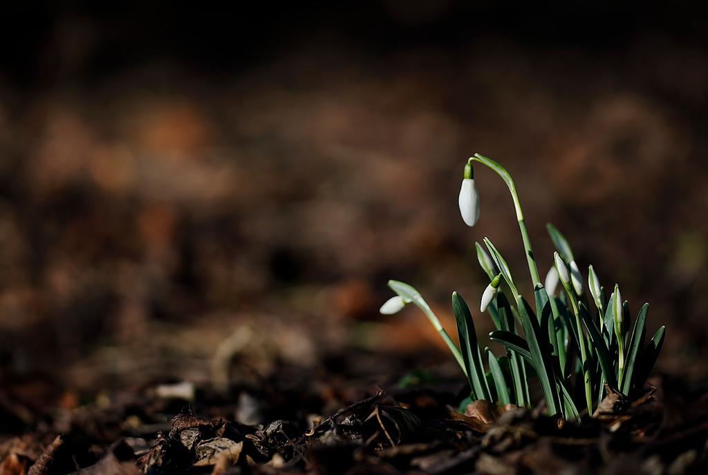 Snowdrop Galanthus  2012