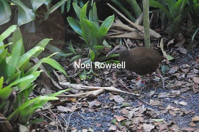 Woodhen Rail