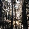 105  G Forest Rays V