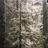 21  G Rime Trees V