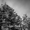 295  G Rime on Trees BW