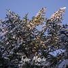 261  G Rime Trees