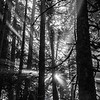 106  G Forest Rays BW V