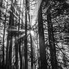 117  G Forest Rays Sharp BW V