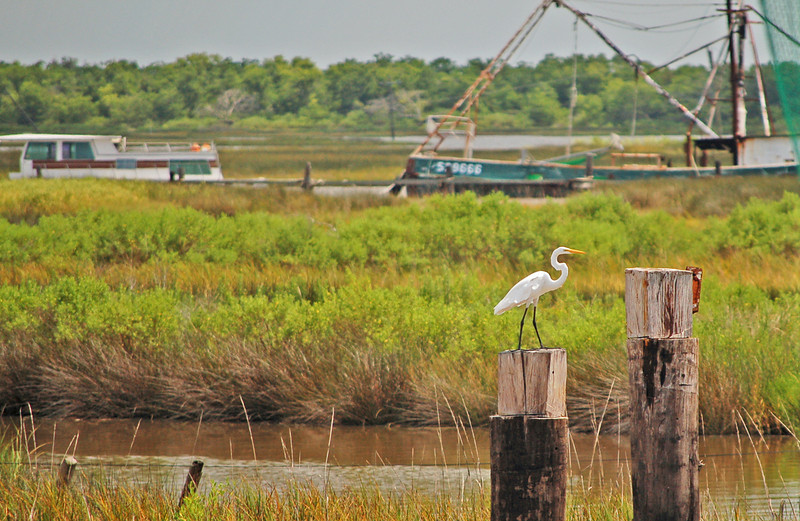 White Egret waiting for the shrimp boats to return
