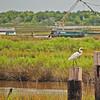 White Egret waiting for the shrimp boats to return