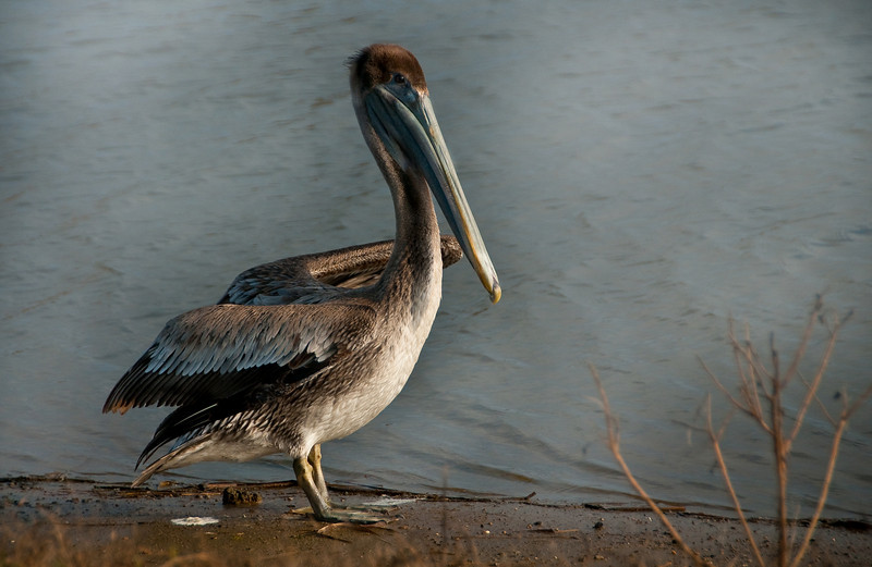 Louisiana Brown Pelican