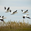Pelicans in flight over the Louisiana fishing grounds