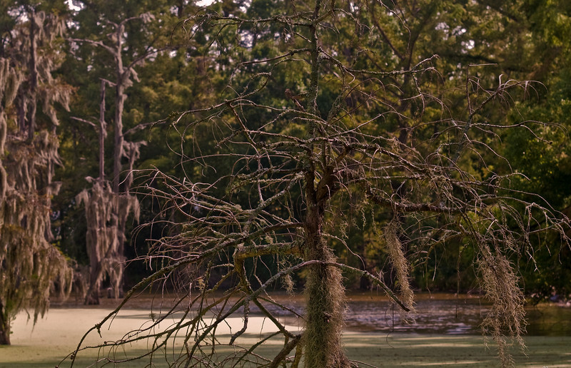 The Mossy Oaks of Cajun country swamps