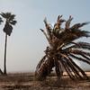 Wind blown palms on Holly Beach, Louisiana
