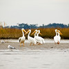 Pelicans waiting for lunch