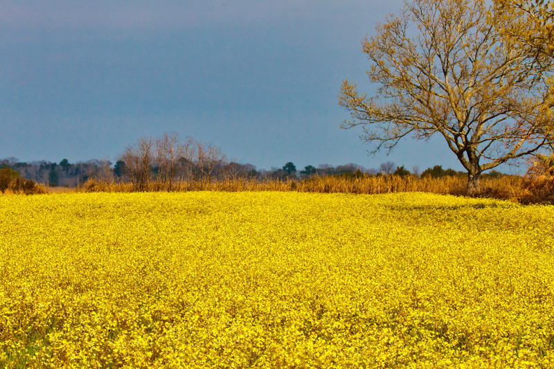 """Field of Gold""<br /> Donnelley Wildlife Management Area<br /> Green Pond, SC"