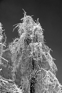 201102324 Tree in Lower Fals Park in Rochester, NY shrouded in ice, black & white