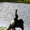 An anhinga dries its feathers and appears to meditate on life ... as an anhinga. ;D