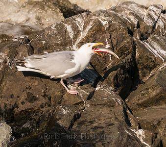 Herring Gull, Machias River