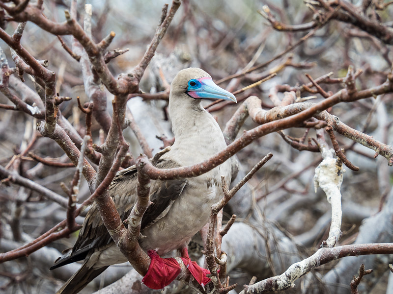 Redfooted Booby, Galapagos