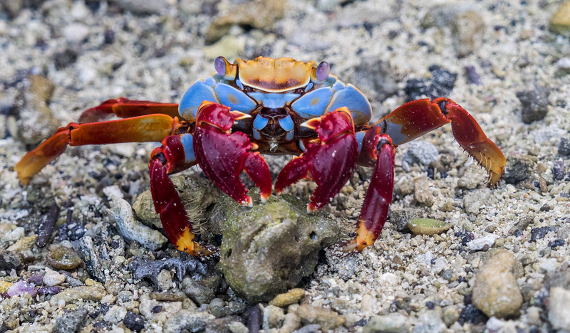 Colorful crab on Genovesa, Galapagos