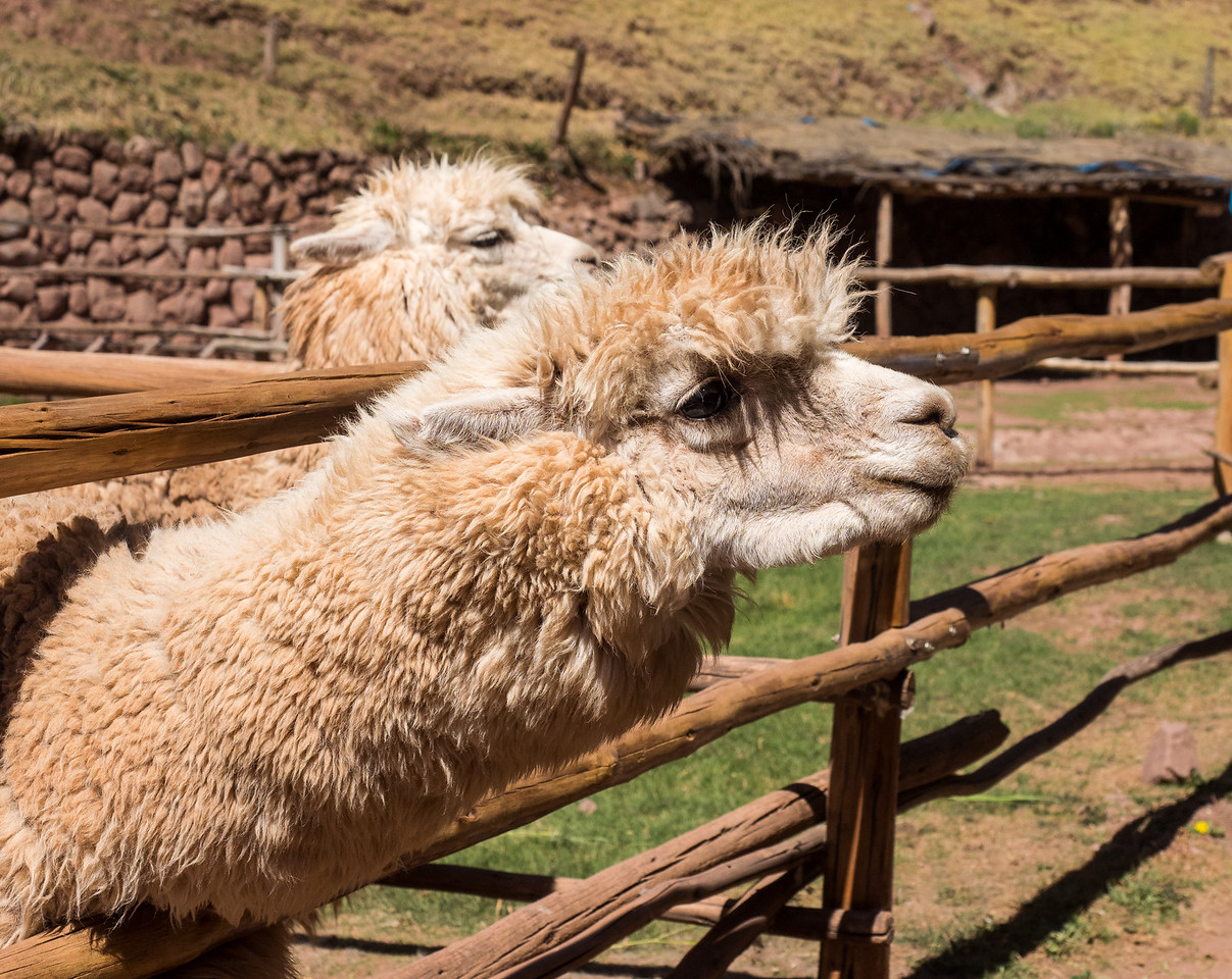 Alpaca at the Awanakancha ranch. Cusco, Peru