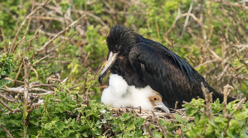 Frigatebird and baby, Galapagos